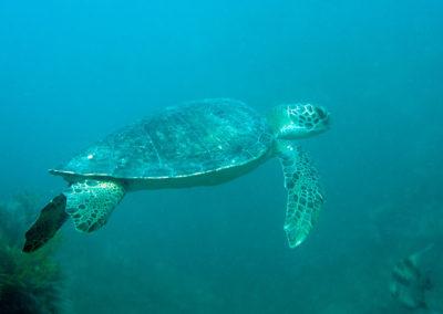 DSC_8166 Green sea turtle (Chelonia mydas) Isla San Pedro Nolasco, Gulf of California,2011