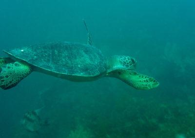 DSC_8169 Green sea turtle (Chelonia mydas) Isla San Pedro Nolasco, Gulf of California,2011