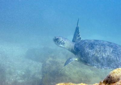 DSC_8240 Green sea turtle (Chelonia mydas), Isla San Pedro Martir, Gulf of California, 2013