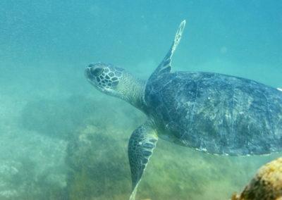 DSC_8241 Green sea turtle (Chelonia mydas), Isla San Pedro Martir, Gulf of California, 2013