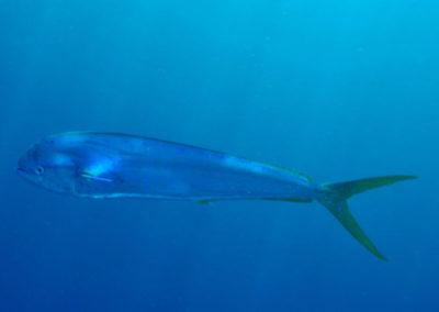 Dorados, mahi, dolphin fish