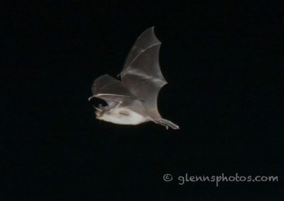 DSC_1032Fish eating bat (Myotis vivesi), Isla San Marcos, Gulf of California, Mexico, 2017