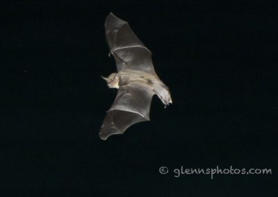 DSC_1092 Fish eating bat (Myotis vivesi), Isla San Marcos, Gulf of California, Mexico, 2017