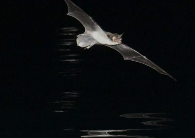 DSC_1124 Fish eating bat (Myotis vivesi), Isla San Marcos, Gulf of California, Mexico, 2017