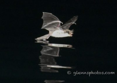 DSC_1216 Fish eating bat (Myotis vivesi), Isla San Marcos, Gulf of California, Mexico, 2017