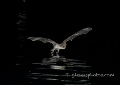 DSC_1270 Fish eating bat (Myotis vivesi), Isla San Marcos, Gulf of California, Mexico, 2017
