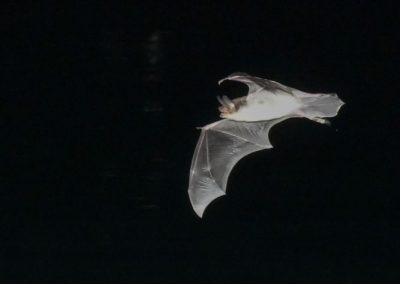 DSC_1312 Fish eating bat (Myotis vivesi), Isla San Marcos, Gulf of California, Mexico, 2017