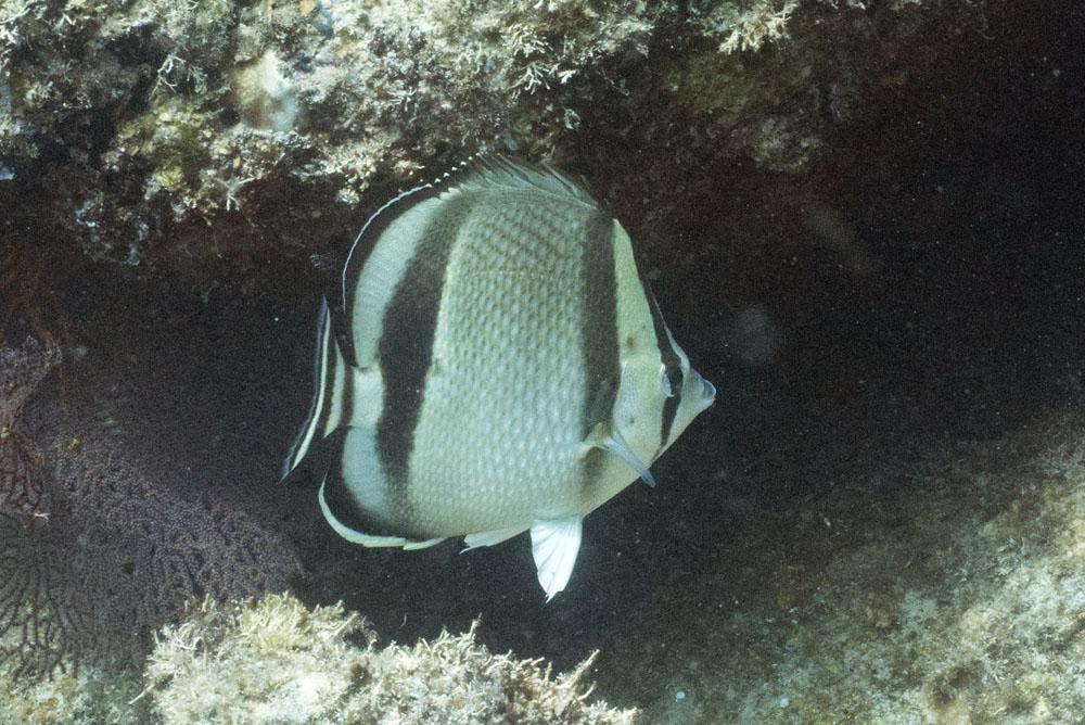 Butterflyfish