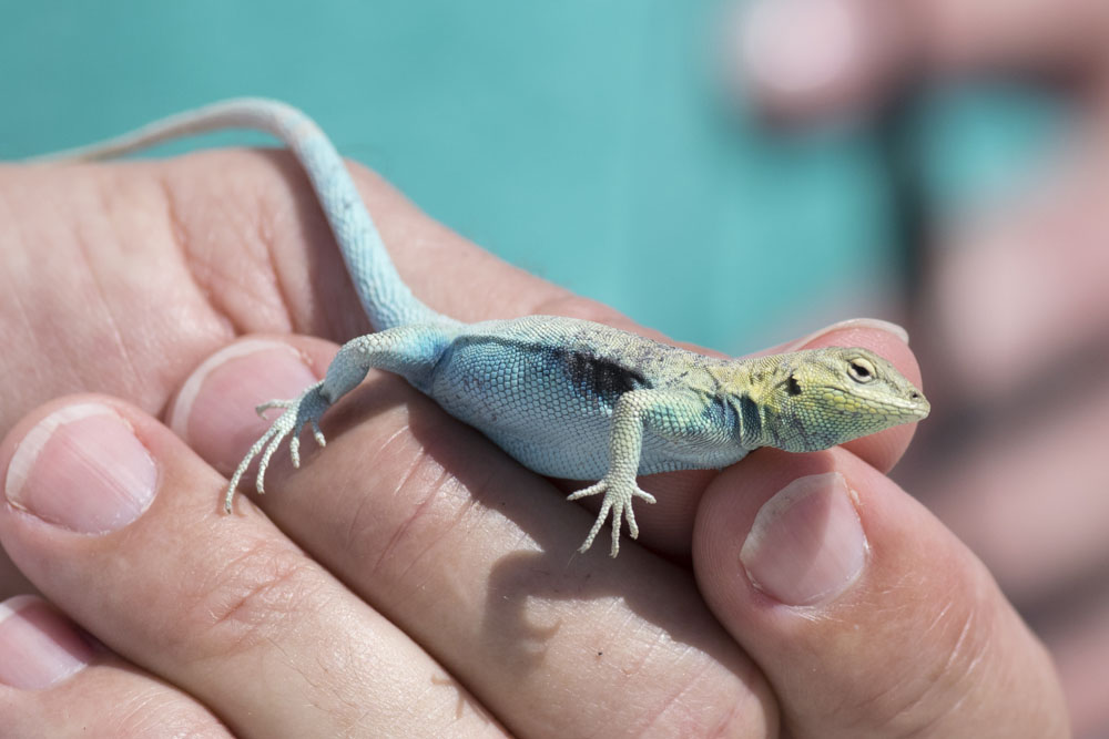 Island Reptiles